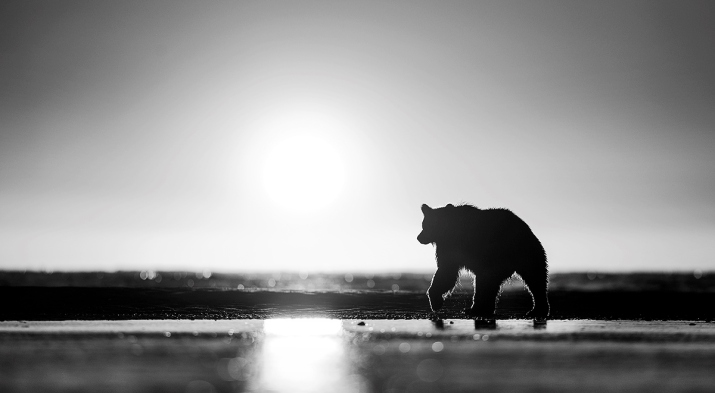Cannot bare walks on the beach? Bears love them! @ Lake Clark National park, Alaska.